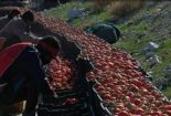 روزهای بحرانی گوجه کاران بوشهری