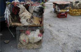 فروش مرغ زنده در بازار دیر خطر آفرین است